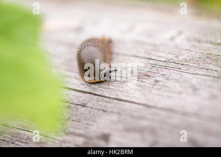 Brown slug in garden. Snail on wooden surface with copy space. - Stock Photo