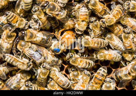 The blue marked Queen of a Carniolan honey bee (Apis mellifera carnica) colony is inserting an egg - Stock Photo