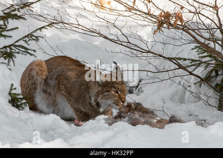 Eurasian lynx (Lynx lynx) feeding on killed roe deer in the snow in winter - Stock Photo