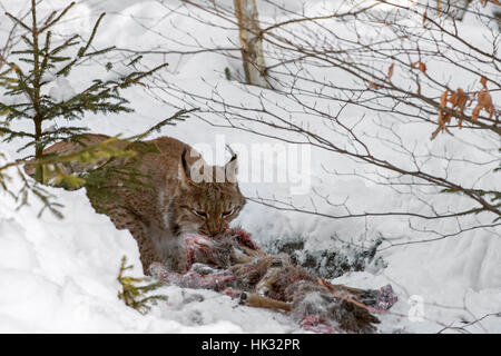 Eurasian lynx (Lynx lynx) feeding on killed roe deer in the snow in winter - Stock Photo