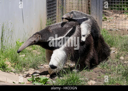 Stock Photo - Giant Anteater carrying a baby at the back searching for food (Myrmecophaga Tridactyla) - Stock Photo