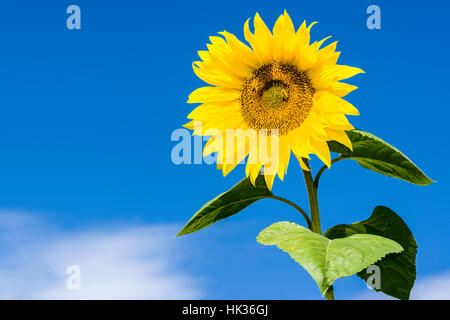 A yellow sunflower (Helianthus annuus) with 2 honeybees (Apis mellifera carnica) against blue sky - Stock Photo