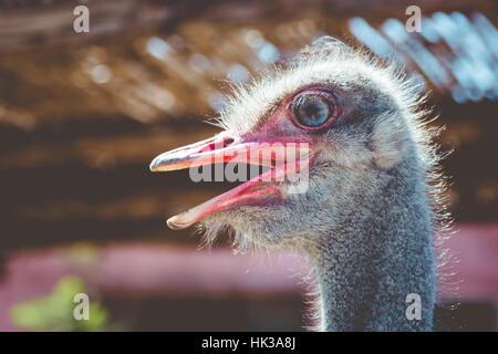 Close up on ostrich, beak open, bright eye - Stock Photo
