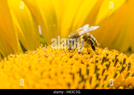 A Carniolan honey bee (Apis mellifera carnica) is collecting nectar at a common sunflower (Helianthus annuus) blossom - Stock Photo