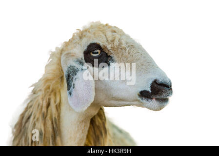 Brillen Schaf Sheep Face Isolation On White Background With Clipping Path - Stock Photo