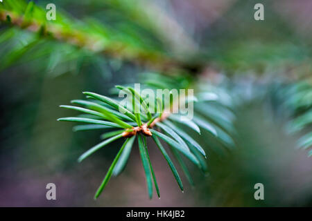 Fresh Little twig of Spruce evergreen tree - Stock Photo