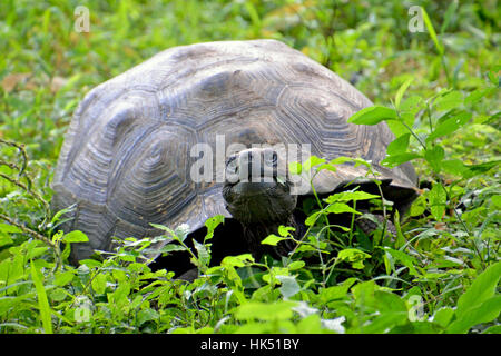 Giant Tortoise Eating Vegetation on Santa Cruz Island - Stock Photo