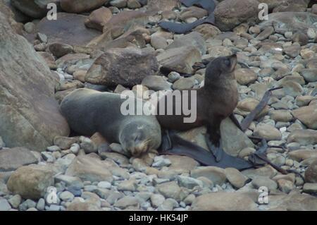 South Island New Zealand Seals - Stock Photo