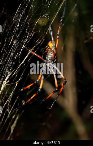 Golden silk orb-weaver, Giant spider nephila on web. Nosy Mangabe, Toamasina province, Madagascar wildlife and wilderness - Stock Photo