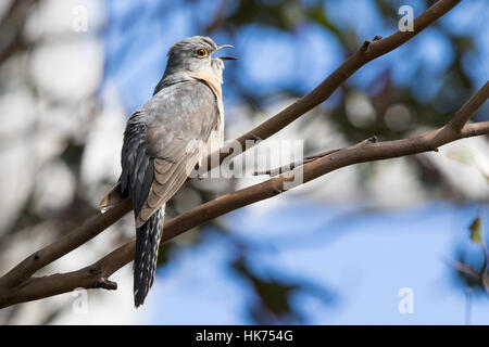 Fan-tailed Cuckoo (Cacomantis flabelliformis) singing - Stock Photo