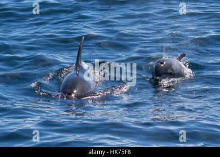 pair of oceanic form of Common Bottlenose Dolphin (Tursiops truncatus) - Stock Photo