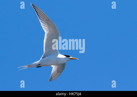 Greater Crested Tern (Thalasseus bergii) in flight - Stock Photo