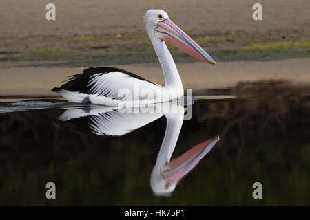 Australian Pelican (Pelecanus conspicillatus) swimming in a crystal clear lagoon - Stock Photo