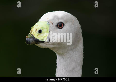 headshot of a Cape Barren Goose (Cereopsis novaehollandiae) - Stock Photo