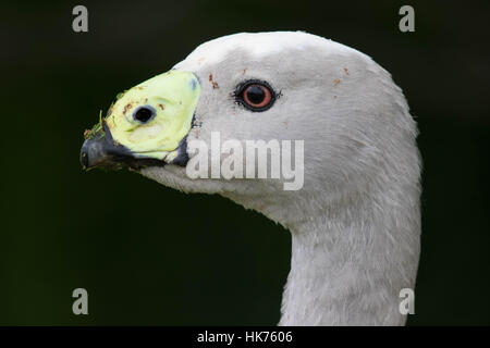 headshot of a Cape Barren Goose (Cereopsis novaehollandiae) - Stock Photo
