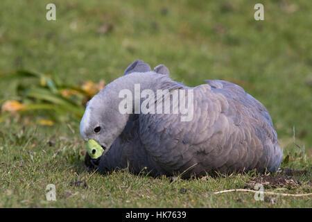 Cape Barren Goose (Cereopsis novaehollandiae) sitting on short grass - Stock Photo