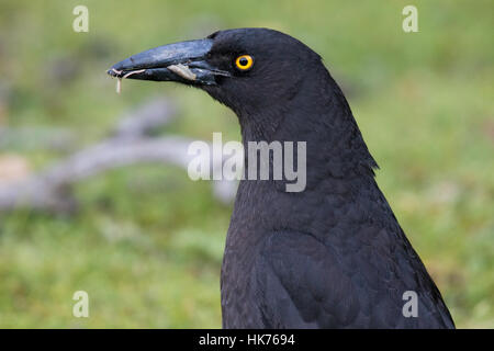 headshot of a Black Currawong (Strepera fuliginosa) - Stock Photo