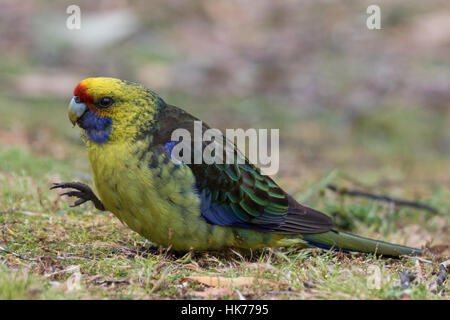 Green Rosella (Platycercus caledonicus) sitting on the ground eating grass seeds - Stock Photo