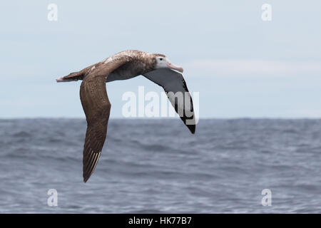 immature Wandering Albatross (Diomedea exulans) flying over the Pacific Ocean - Stock Photo