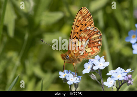 Pearl-bordered Fritillary (Clossiana euphrosyne) feeding on Wood Forget-me-not (Myosotis sylvatica) flowers - Stock Photo