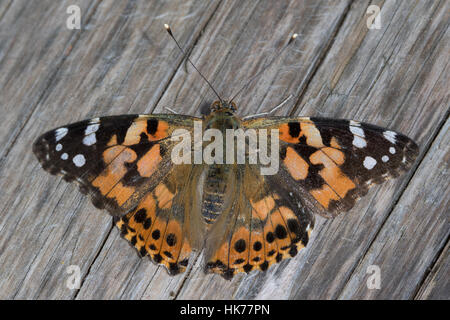 Painted Lady (Vanessa cardui) basking on a wooden picnic table - Stock Photo