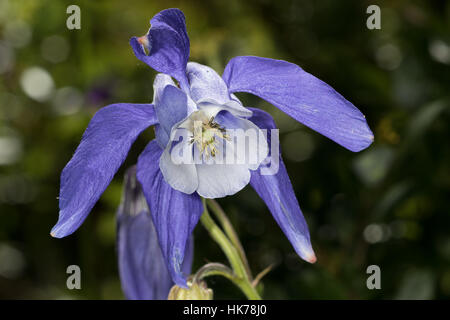 Alpine Columbine (Aquilegia alpina) flower - Stock Photo