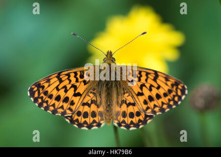 Niobe Fritillary (Argynnis niobe) butterfly basking in the sun - Stock Photo
