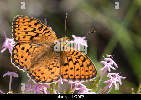 High Brown Fritillary (Argynnis adippe) feeding on pink flowers - Stock Photo