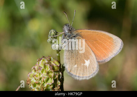 Chestnut Heath (Coenonympha glycerion) butterfly - Stock Photo