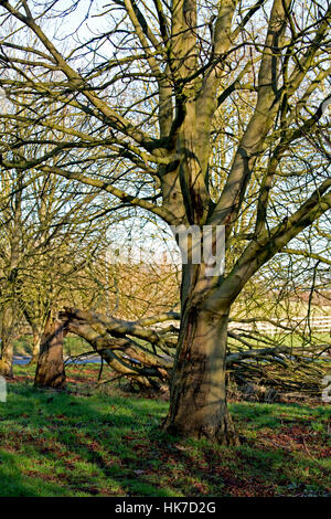 Grove of Horse Chestnut (Aesculus hippocastanum) showing advanced stages of Bleeding Canker, Staffordshire, United - Stock Photo