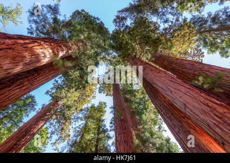 Giant sequoia trees in Sequoia National Park, California