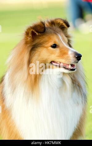 dog, mini, miniature, sable, walk, go, going, walking, friendship, beautiful, - Stock Photo