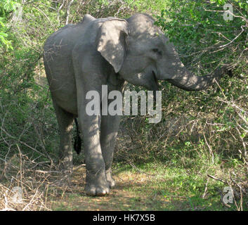 A Sri Lankan wild elephant (Elephas maximus maximus) one of three recognised subspecies of the Asian elephant - - Stock Photo