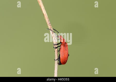 Red-headed or Common Cardinal Beetle (Pyrochroa serraticornis), a bright scarlet bug climbing a twig, with a green - Stock Photo