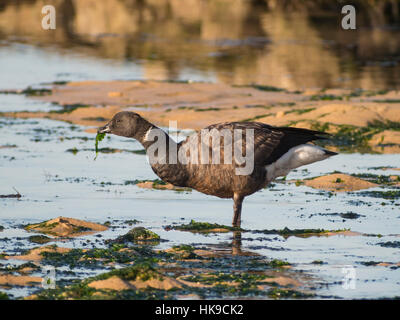 Brant Goose be standing up on its paws in the water. Feed a seaweed.  Atlantic coast, Oléron island, France. - Stock Photo