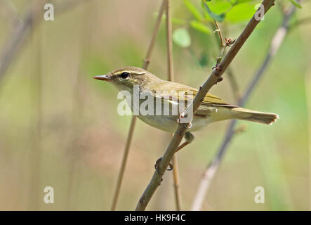 Kamchatka Leaf-Warbler (Phylloscopus examinandus) adult perched on branch  Hebei, China       May 2016 - Stock Photo