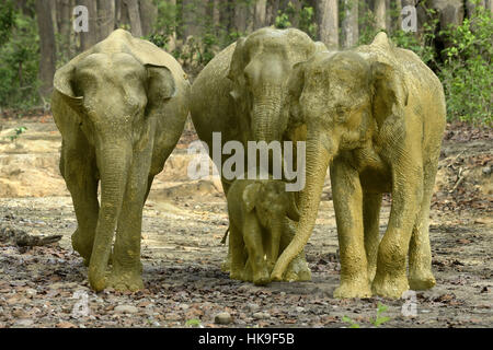 Adult cow elephants leading the calf after mud bath on forest tracks,Elephas maximus indica, Corbett N.P, Ramnagar,Uttarkhand,India - Stock Photo