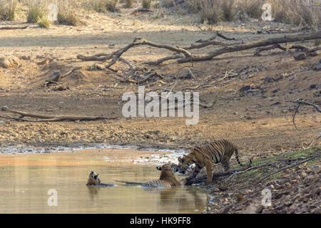 Tiger (Panthera tigris), female and cubs bathing in waterhole, Tadoba National Park, Maharashtra, India, April - Stock Photo
