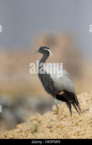 Demoiselle Crane, Grus virgo, adult standing on an earth bank, Keechan, Rajasthan, India, February - Stock Photo
