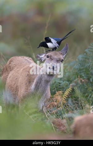 Red Deer (Cervus elaphus) hind, standing among bracken, with Common Magpie (Pica pica) adult, standing on head searching - Stock Photo