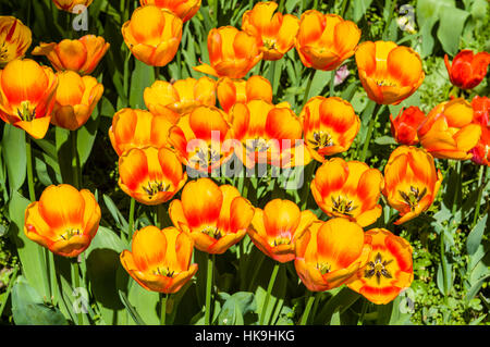 Different blooming Tulips (lat. Tulipa) at Island Mainau, the 'Island of flowers' at Lake Constance - Stock Photo