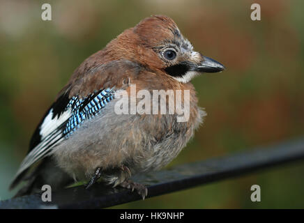 Baby Eurasian Jay fledgling Garrulus Glandarius perched on a railing in Rye Kent U.K. patiently waiting for food - Stock Photo
