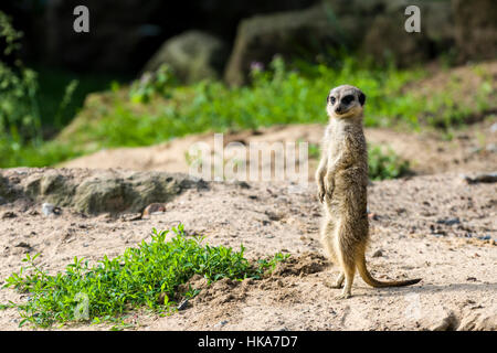 A Meerkat (Suricata suricatta) is standing on the ground, watching out - Stock Photo