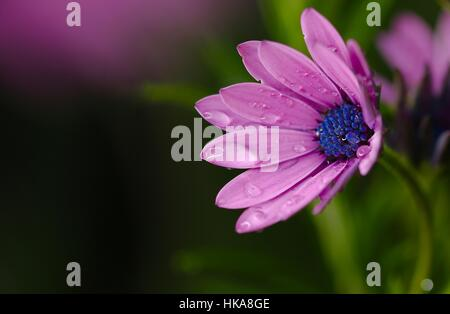 Pink Osteospermum with purple/blue centre after a rain shower macro shot taken in Shepperton U.K. - Stock Photo