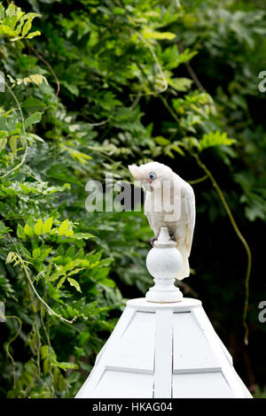 Little Corella resting on a Gazebo styled bird feeder Southern Highlands New South Wales Australia. - Stock Photo