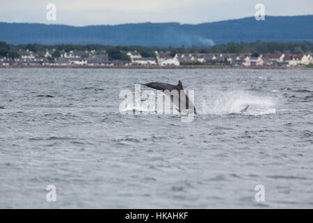 Bottlenose Dolphin; Tursiops truncates; Jumping Morray Firth; Scotland; UK - Stock Photo