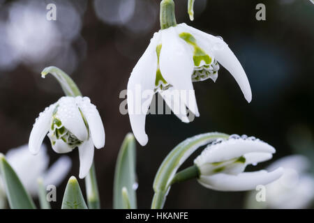 Winter  flower of the hardy double snowdrop, Galanthus 'Richard Ayres' - Stock Photo