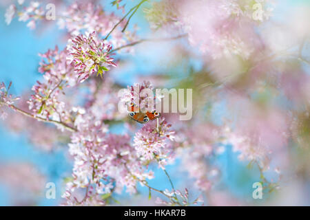 Spring Yoshino pink cherry blossom flowers -  Prunus x yedoensis with a Peacock butterfly - Aglais io collecting - Stock Photo