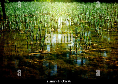 shallow lake with many young growing plants and sunlight - Stock Photo