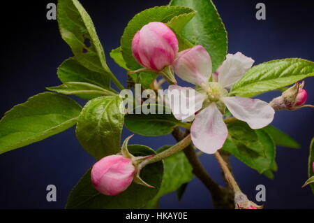 Close up of spring apple blossom flower and pink buds with green leaves against dark blue background. Selective - Stock Photo